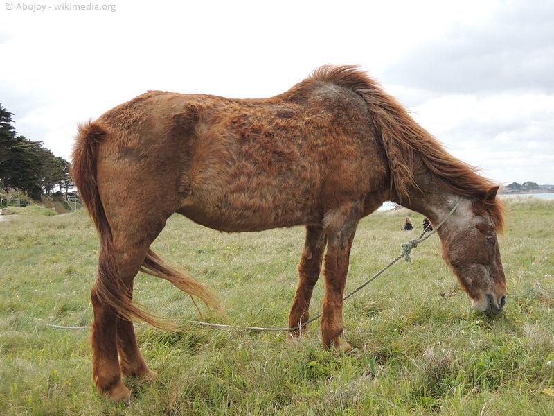 dissertation cushing pferd