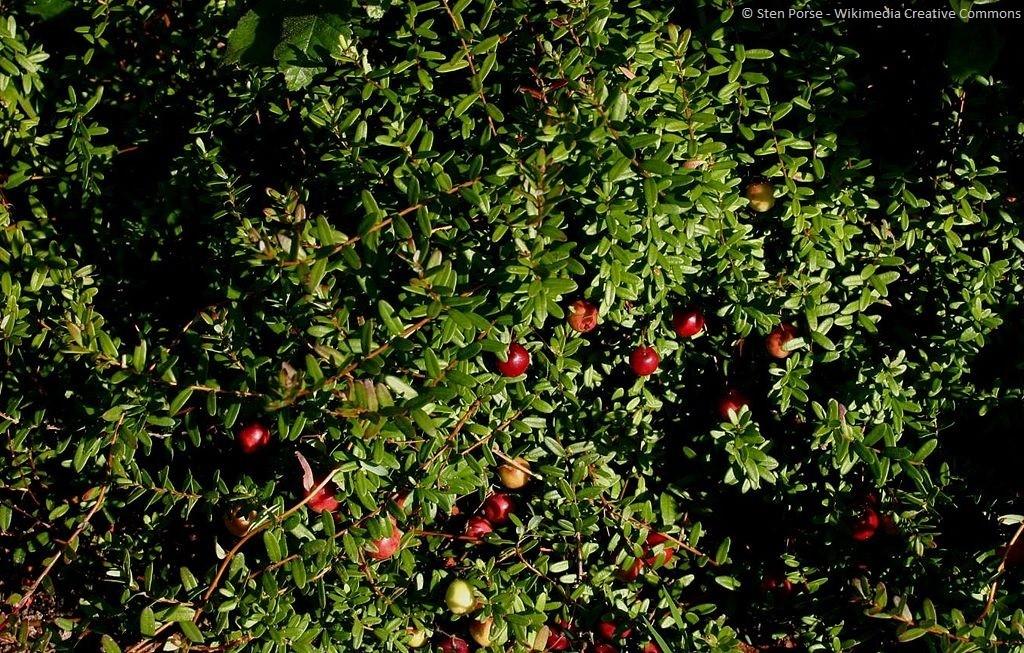 Ganz und zu Extrem Cranberry — artgerecht Tier #NI_18
