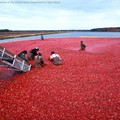 Cranberry-Ernte in New Jersey