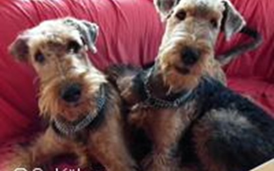 Wir Airedale Terrier